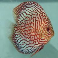 Blue Turquiose Discus Fish 3-3.5 inches Save £6