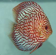 Blue Turquiose Discus Fish 3-3.5 inches Save £6