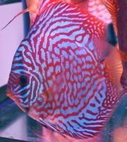 Red Royal Blue Discus Fish 3-3.5 inches Save £7