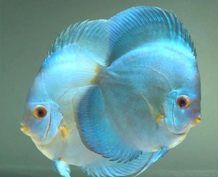 Blue Diamond Discus Fish 3/3.5 inches Save £7