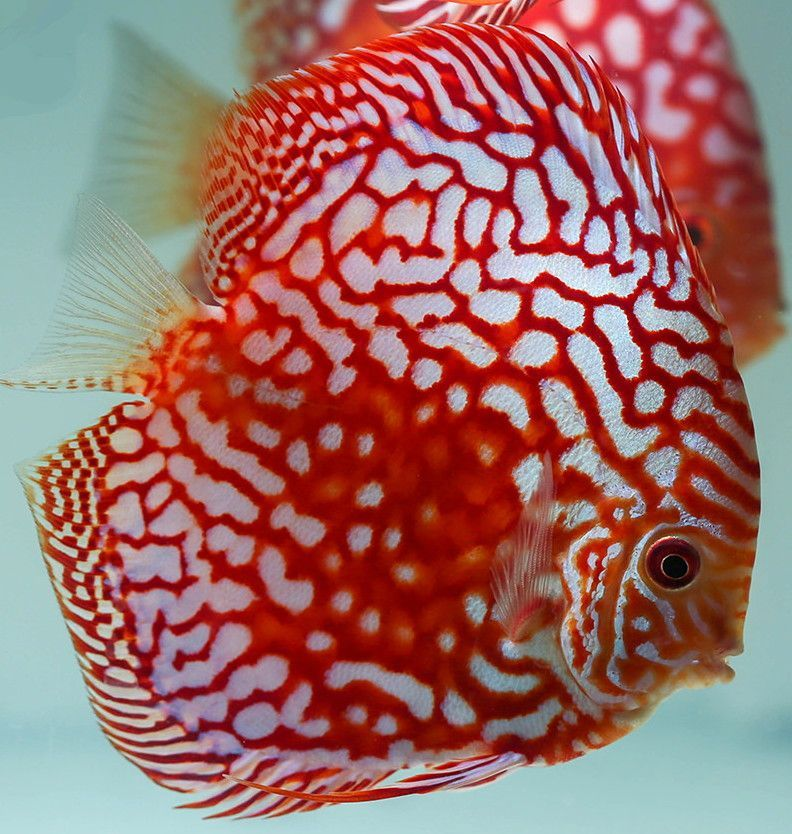 Red Panda Discus Fish 3 inches Save £8