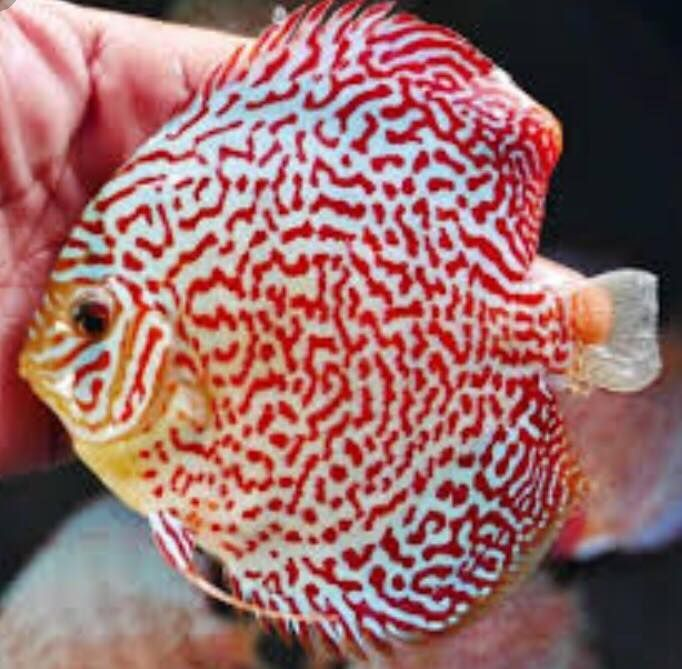 Ruby Mosiac  Discus 3 inches Save £8