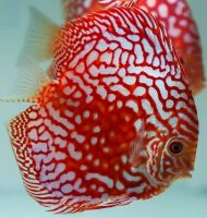 Red Panda Discus 3.5 inches Save £8