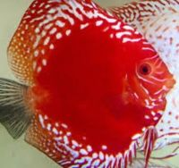 Rafflesia Discus Fish 4 inches Save £10
