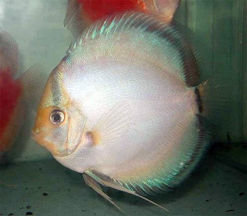 Ghost Discus 4/4.5 inches Save £14