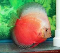 Red White Discus 4/4.25 inches