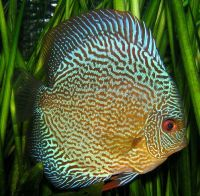 Blue Snake Skin Discus 3/3.25 inches Save £10