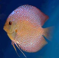 Penang Eruption 3.5/3.75 inches Save £19