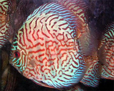 Red Zebra Turq 4.4.25 inches SAVE £14