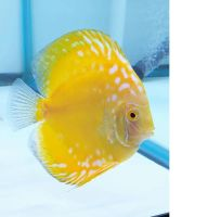 Yellow Crystal Discus 4 inches approx SAVE £12