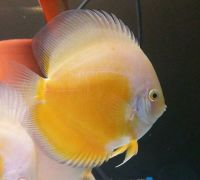 Yellow White Discus 4 inches approx SAVE £20