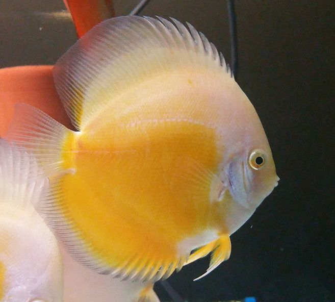 Yellow White Discus 4/4.25 inches SAVE £20