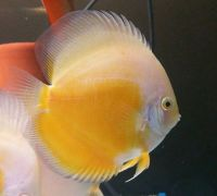 Yellow/White 3 inches approx SAVE £10