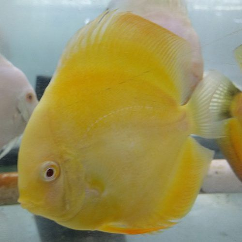 Albino Yellow Crystal 3 inches approx SAVE £10