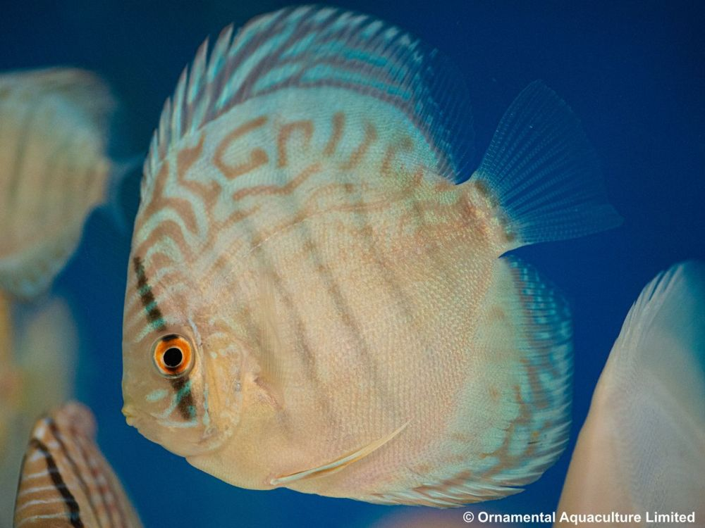 Cobalt discus 6 inches approx SAVE £20