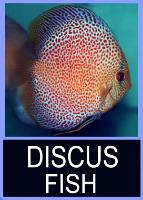 <!--01-->Discus Fish