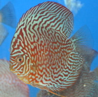 Red Turq Discus  3.5 inches SAVE £8