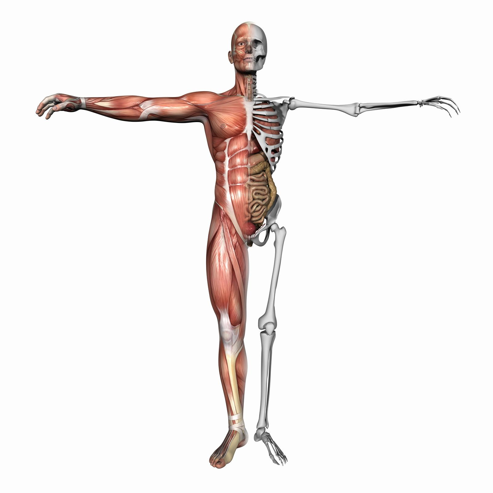 human body showing muscles and skeleton