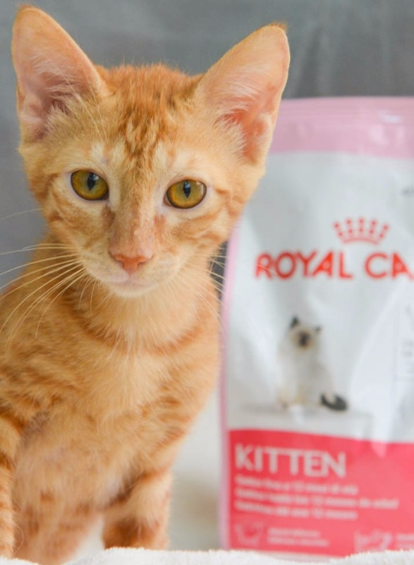 Ginger kitten next to a Royal Canin food bag