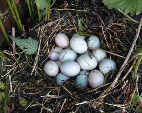The nettle nest - multiple duck eggs