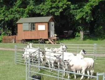 Sheep at Gressenhall
