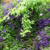 Clematis 'Etoile Violette' on the orchard wall