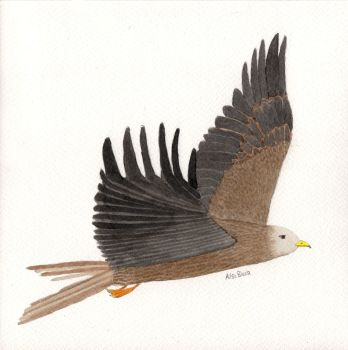 Red Kite - pencil and ink drawing