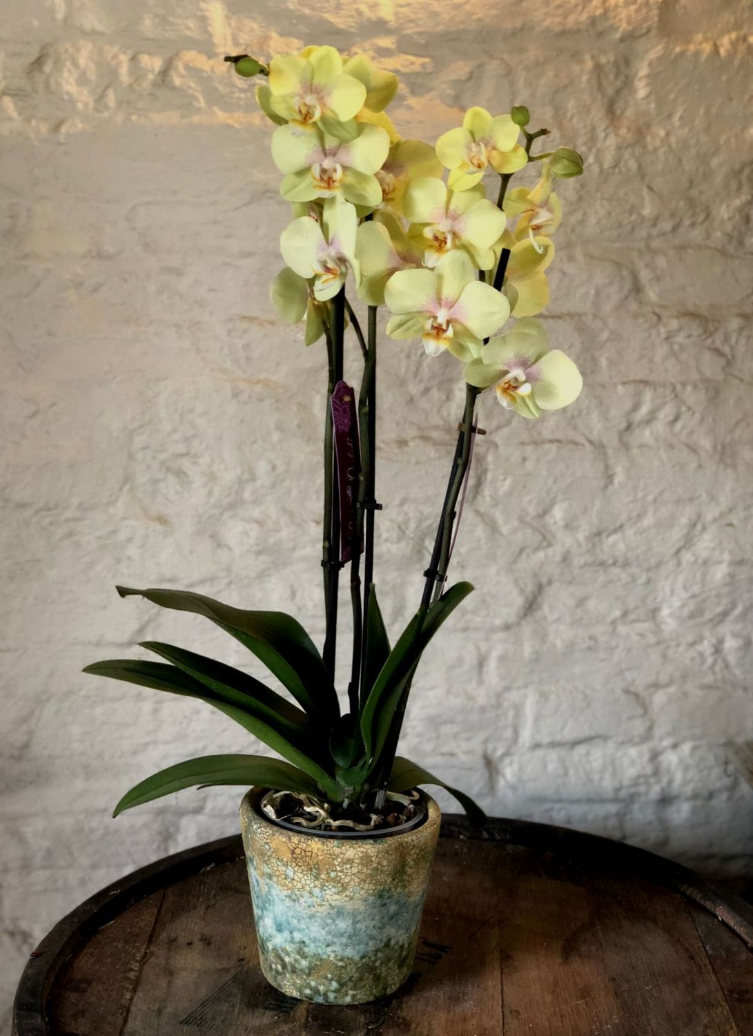 Lime Green and Pink Orchid with Pot