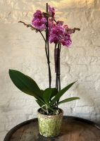 Fuchsia Phalaenopsis Orchid with Pot