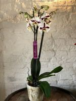 White and Purple Phalaenopsis Orchid with Pot