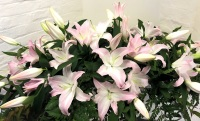 Pale pink 4ft Lily casket spray