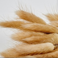 Natural Bunny Tail stems