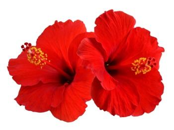 Hibiscus 50ml (BN 3308)