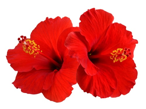 Hibiscus 50ml