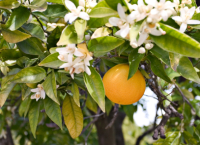 Orange Blossom 50ml (BN 0807)