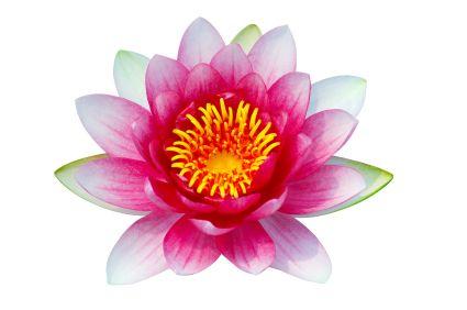 Lotus Blossom 50ml (BN 7069) (Reformulated)