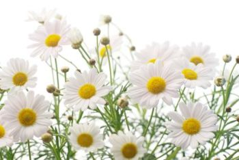 Chamomile 50ml (BN 7940) *(Reformulated)