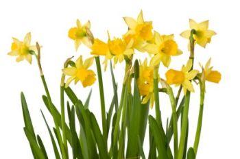Daffodil 200ml (BN 1646) *DISCONTINUED*