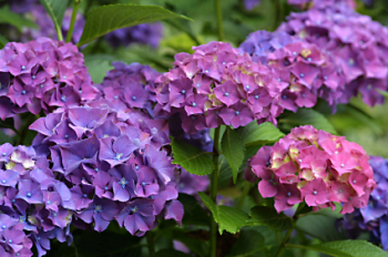 DISCONTINUED Hydrangea Heaven 50ml (BN 112950)