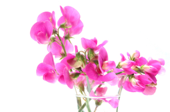 Sweet Pea 50ml (BN 353566)