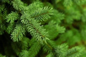 Pine Tree 50ml (BN 3155)