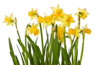 Daffodil 50ml (BN 1531)