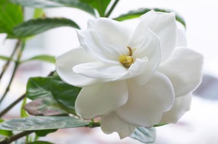 Gardenia UK 50ml