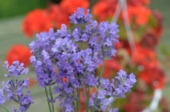 Geranium Lavender 50ml