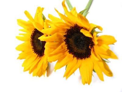 Sunflower UK 50ml