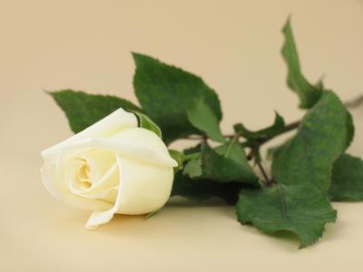 Vanilla Rose UK 50ml