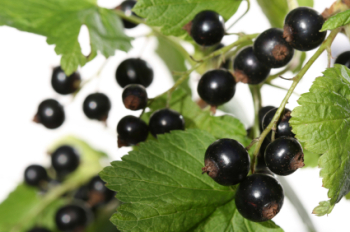 Blackcurrant 50ml (BN 9390)