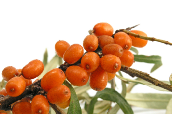 DISCONTINUED Sea Buckthorn 50ml