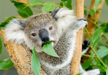 Eucalyptus UK 50ml