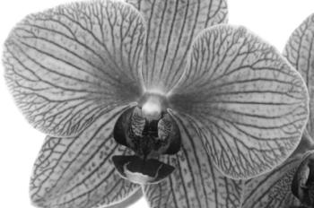 Orchid Noir 50ml (BN 4658)